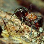 Waldameisen verbessern den Boden im Nestbereich.